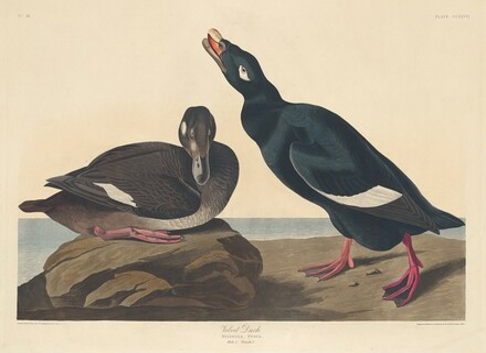 Velvet Duck