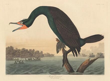 Florida Cormorant