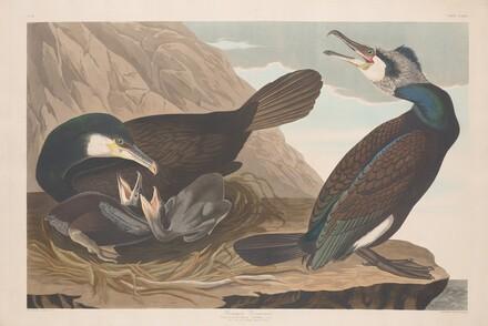 Common Cormorant