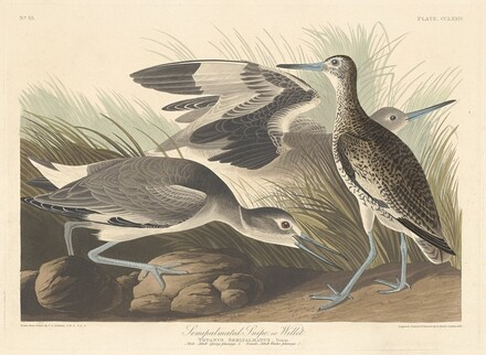Semi-palmated Snipe or Willet