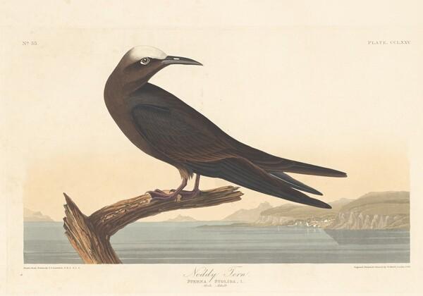 Noddy Tern