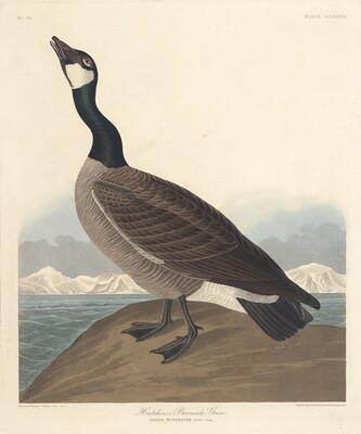 Hutchin's Barnacle Goose