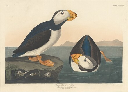 Large-billed Puffin