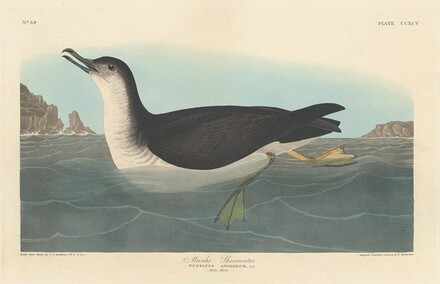 Manks Shearwater