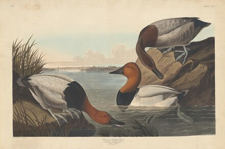 Canvas-backed Duck
