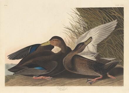Dusky Duck