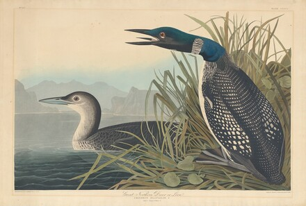 Great Northern Diver or Loon