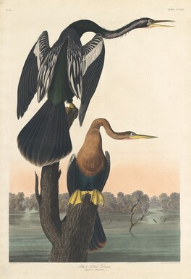 Black-bellied Darter