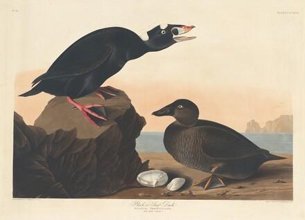 Black or Surf Duck
