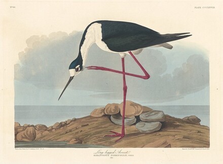 Long-legged Avocet