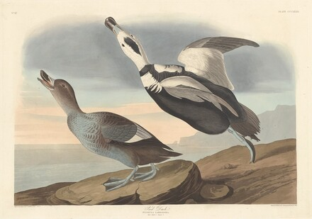 Pied Duck