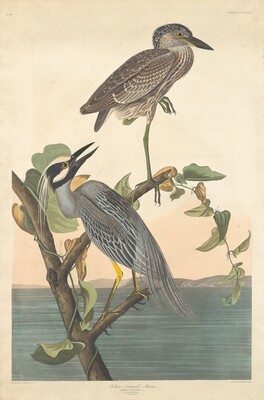 Yellow-crowned Heron