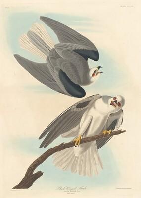 Black-winged Hawk