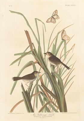MacGillivray's Finch
