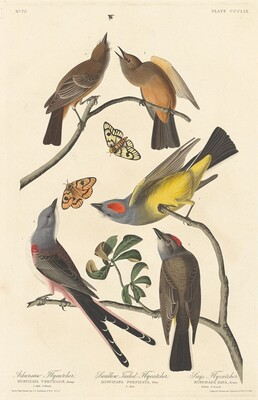 Arkansaw Flycatcher, Swallow-tailed Flycatcher and Says Flycatcher