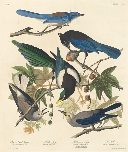 Yellow-billed Magpie, Stellers Jay, Ultramarine Jay and Clark's Crow