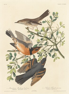 Mountain Mocking-bird and Varied Thrush