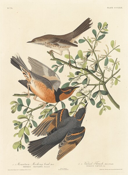 Mountain Mocking-bird and Varied Thrush
