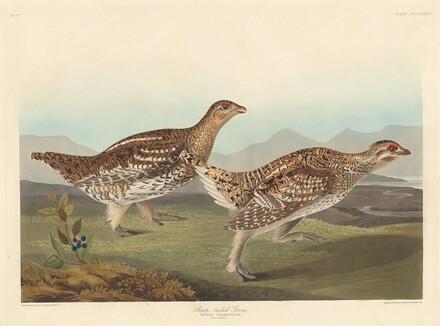 Sharp-tailed Grous