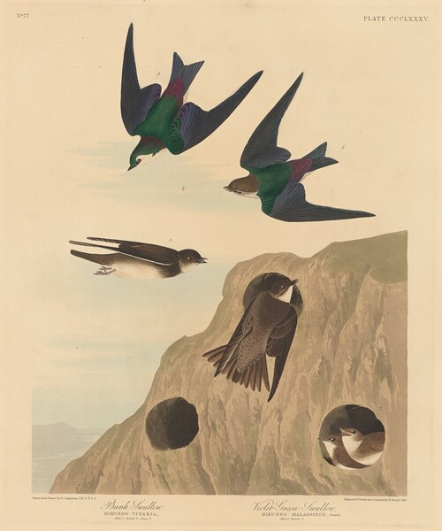 Bank Swallow and Violet-green Swallow