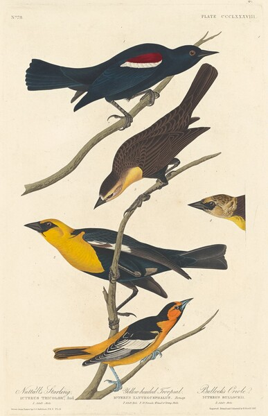 Nuttall's Starling, Yellow-headed Troopial and Bullock's Oriole