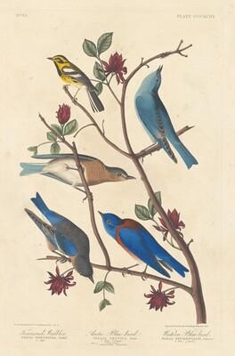 Townsend's Warbler, Arctic Blue Bird and Western Blue Bird