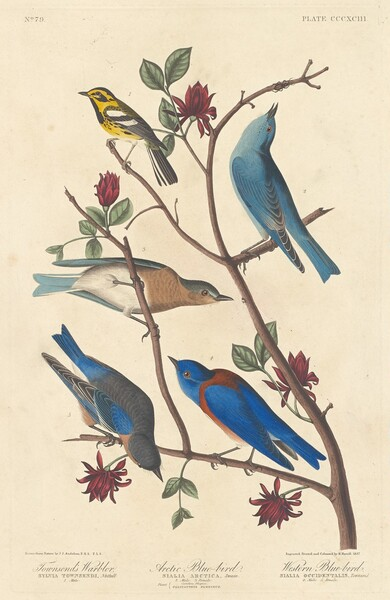Townsend's Warbler, Arctic Blue Bird and Western Blue Bird