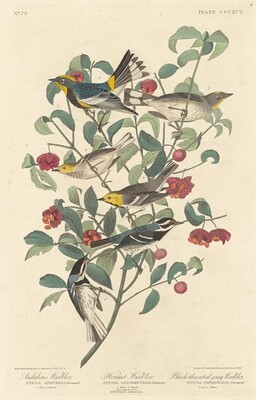 Audubon's Warbler, Hermit Warbler and Black-throated Gray Warbler