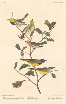 Black-throated Green Warbler, Blackburnian Warbler and Mourning Warbler