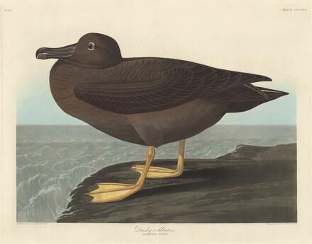 Dusky Albatros
