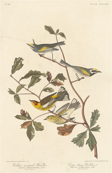 Golden-winged Warbler and Cape May Warbler