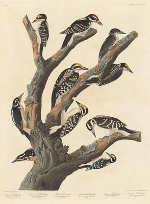 Maria's Woodpecker