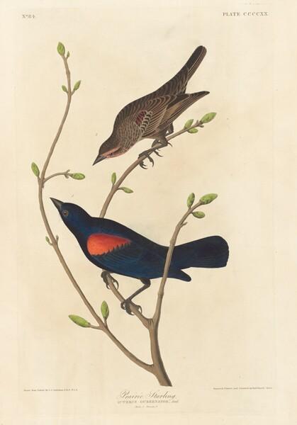 Prairie Starling