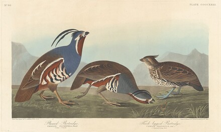 Plumed Partridge and Thick-legged Partridge