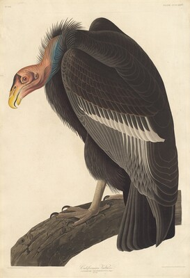 Californian Vulture