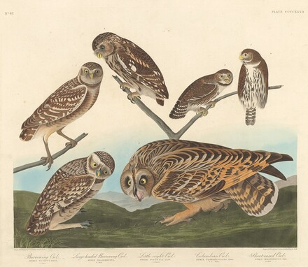 Burrowing Owl, Large-Headed Burrowing Owl andLittle Night Owl