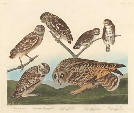 Burrowing Owl, Large-Headed Burrowing Owl andLittle Night Owl