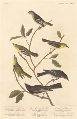 Little Tyrant Flycatcher, Small-Headed Flycatcher, Blue Mountain Warbler, Bartram's Vireo, Short-Legged Pewee, and Rocky Mountain Flycatcher
