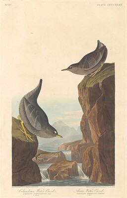Columbian Water Ouzel and Arctic Water Ouzel