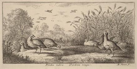 Pedrix rubra, The Red-Legged Partridge