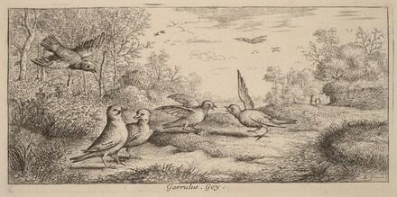 Garrulus, The Jay