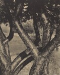 image: The Dancing Trees