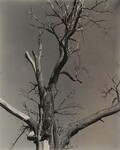 image: The Dying Chestnut Tree