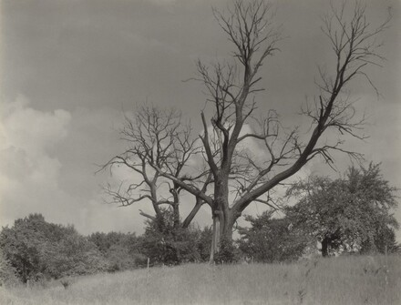The Dying Chestnut Tree