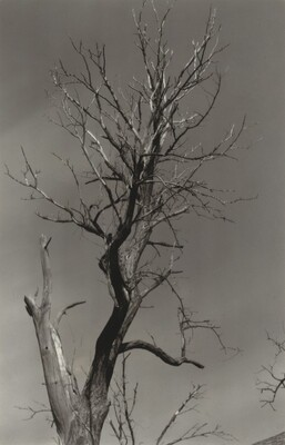 The Dying Chestnut Tree or Life and Death