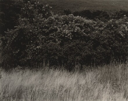 Hedge and Grasses--Lake George