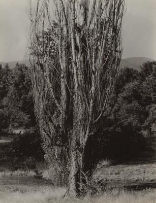 Poplars--Lake George