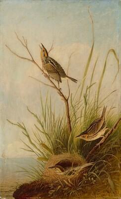 Sharp-Tailed Finch