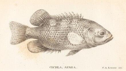 Cichla, Aenea