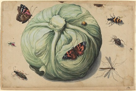 Head of Cabbage with Insects
